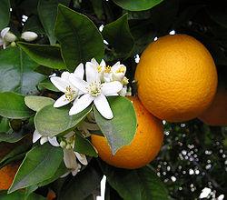 250px-OrangeBloss_wb